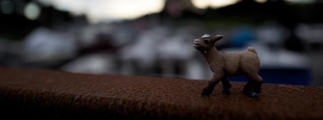 baby goat goes a walkin'