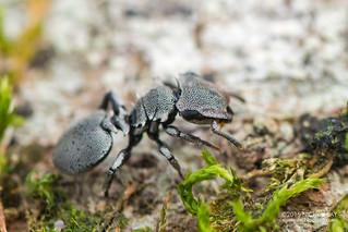 Turtle ant (Cephalotes cristatus) - DSC_8674