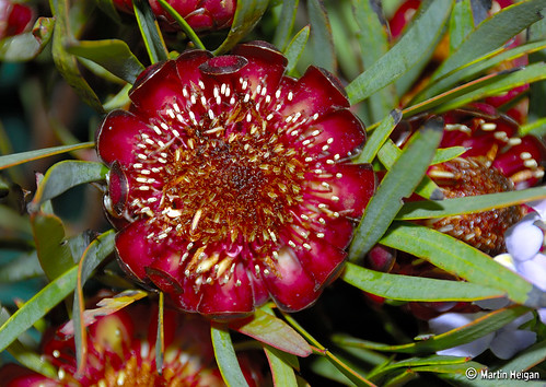 Protea flowers | by Martin_Heigan