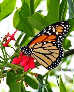 monarch  a beautiful monarch butterfly taken on the