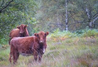 Cattle - Morvich