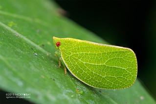 Acanaloniidae - ESC_0216