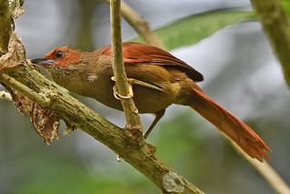 Red-faced Spinetail in Ecuador | by Dave W.