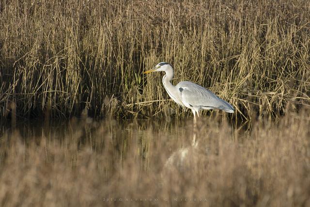 Heron - The peaceful hunter
