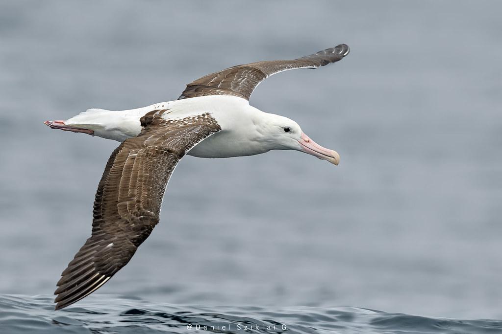 """Cuento: """"El Albatros Real"""" (DANIEL MOLINA CARRANZA)"""