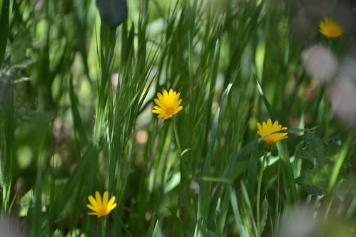 Calendula arvensis - souci des champs 32518070592_6d3ea33de9