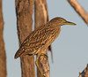 Nankeen Night Heron (Nycticorax caledonicus) (56 – 64 centimetres) (immature) (aka Rufous Night Heron) by Geoff Whalan