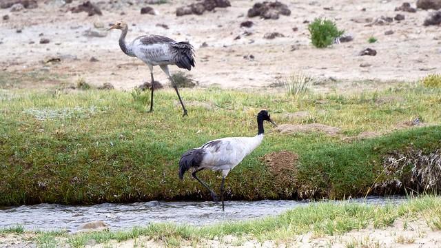 """Black-necked crane in Tibet called """"Trung Trung"""", Tibet 2015"""