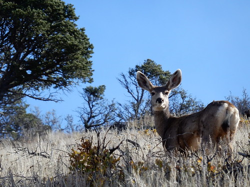 Capulin Volcano National Monument - mule deer