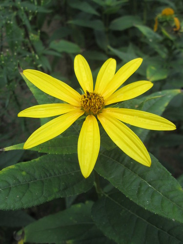 Ten-petal Sunflower | by capemaynativeplants