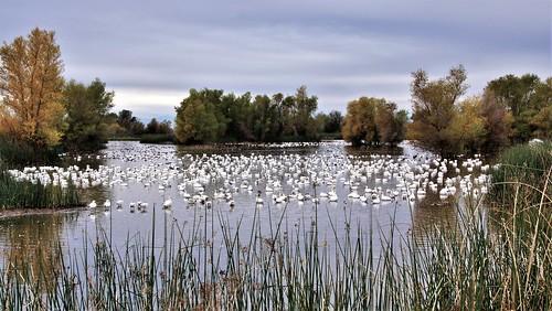 a65v2 gray lodge wma california snow geese