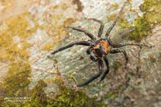 Jumping spider (Salticidae) - DSC_2090