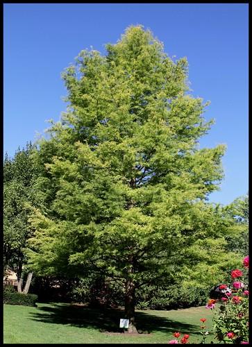 Taxodium distichum - cyprès chauve, cyprès de Louisiane  22579160386_dafcf7da6f