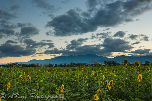 morning winter sky cloud mountain flower nature sunshine sunrise skyscape landscape dawn countryside scenery ngc taiwan landmark taichung 台灣 冬 向日葵 台中 花海 新社 日出 晨