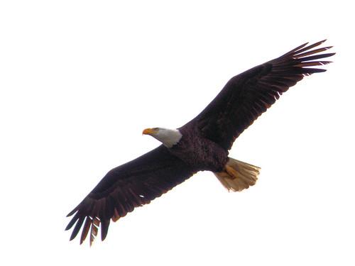 Bald Eagle male departs 20170303