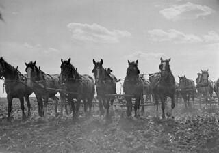 Farmers with teams of horses work the wheat fields in Manitoba / Agriculteurs cultivant leurs champs de blé avec des attelages de chevaux (Manitoba)