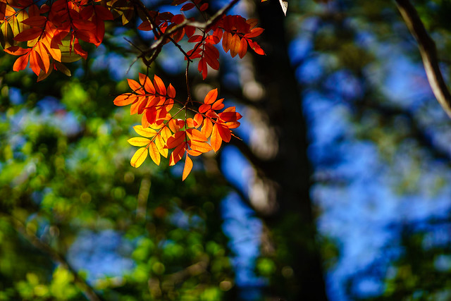 Red leaves, yellow leaves