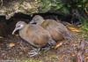 Woodhen - Gallirallus sylvestris (adult birds) by Stewart M