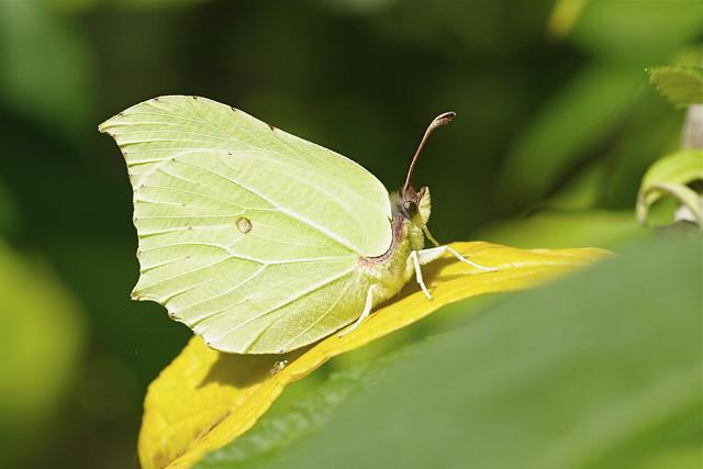 Female Brimstone Butterfly-Gonepteryx rhamni