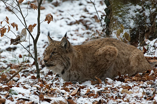 Luchs | by burningman65