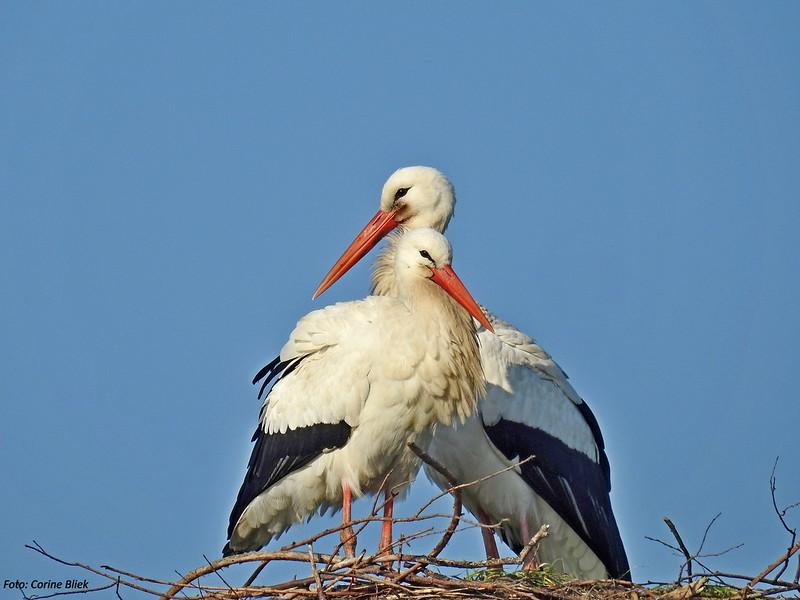 White storks courting