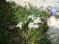 Edelweiss in het wild!