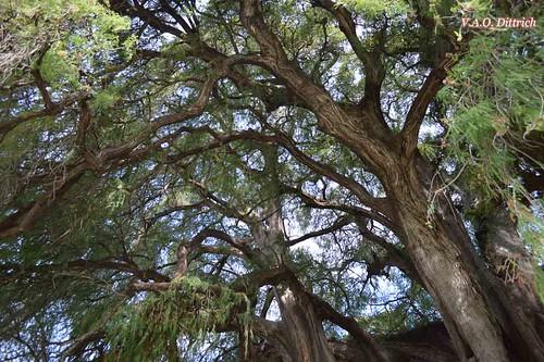 Taxodium mucronatum (El árbol del tule), Taxodiaceae, Santa María del Tule, OAX, México