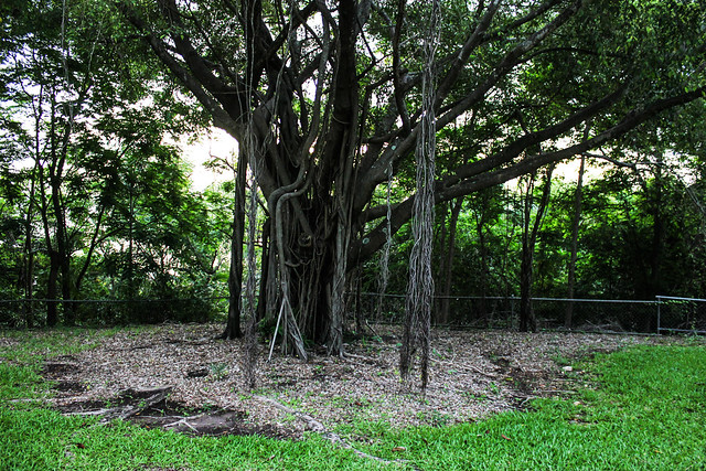 Ficus tree, Bicentennial Park, Darwin