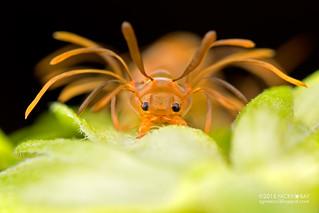 Ant-mimic caterpillar (Homodes sp.) - DSC_8298