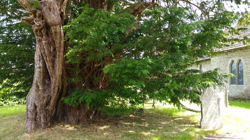 The Discoed Yew | by pluralzed