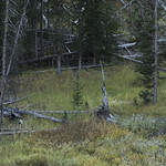 Bull, cow, and calf Moose along Glen Creek