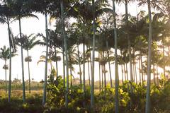 Golden Rays between Golden Trees
