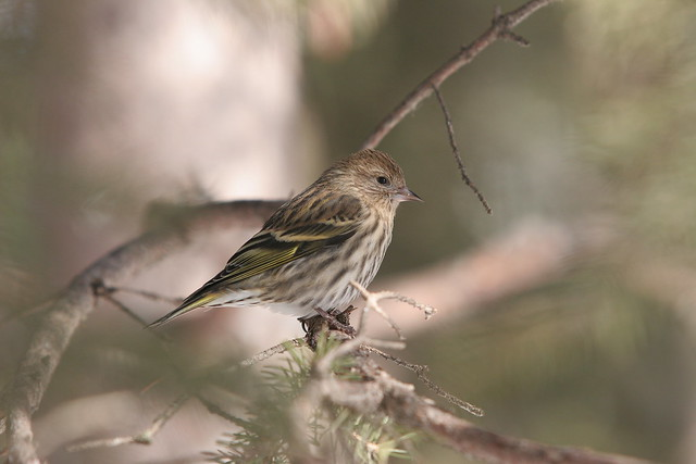 Picture 022 View Large. Pine Siskin. Hawrelak Park Edmonton