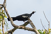 Blue-throated Piping-Guan (Pipile cumanensis) by Ron Winkler nature