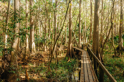 statepark park trees wild color nature forest landscape woods natural state florida outdoor hiking scenic trail jungle shade swamp boardwalk fl sebring wilderness naturalbeauty floridastatepark highlandshammockstatepark highlandshammock highlandscounty vsco vscofilm