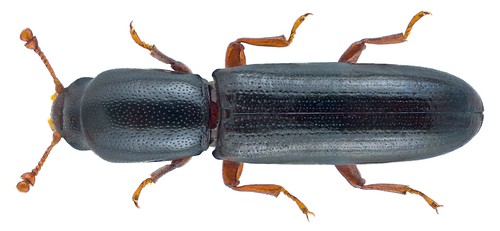 Teredus cylindricus (Olivier, 1790) | by urjsa