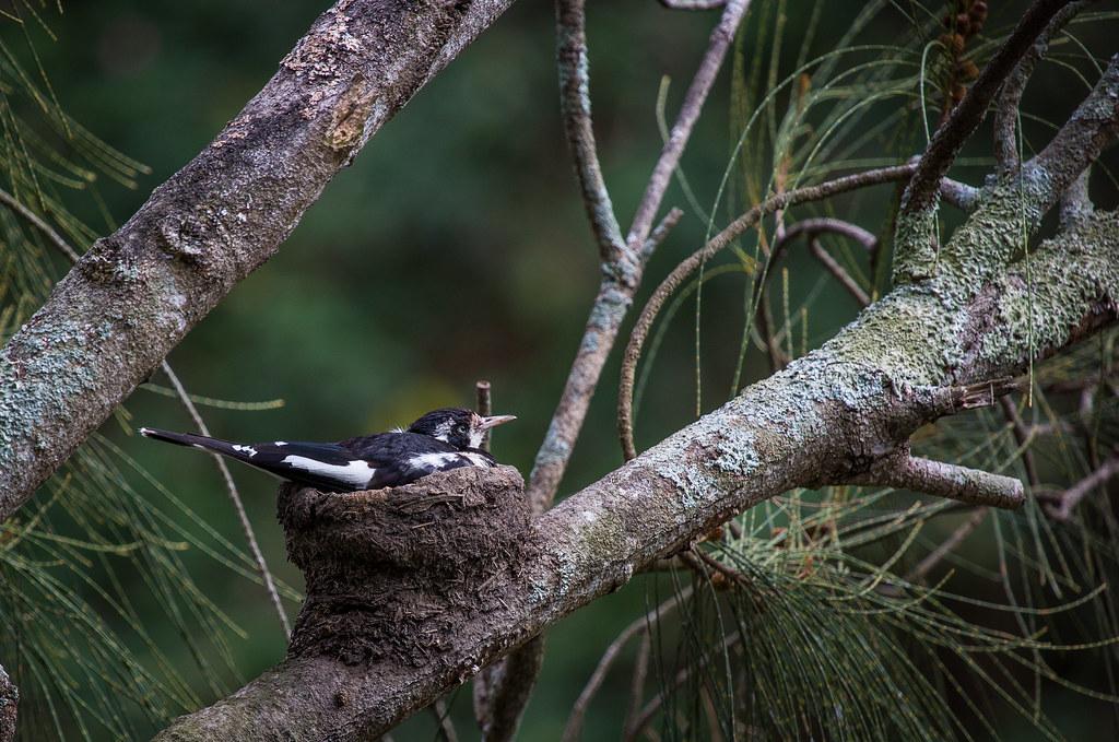 Magpie-lark (Grallina cyanoleuca) on its nest