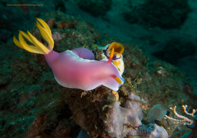 Purple Sea Slug, Hypselodoris apolegma, Robe Hem Hypselodoris, North Sulawesi, Indonesia