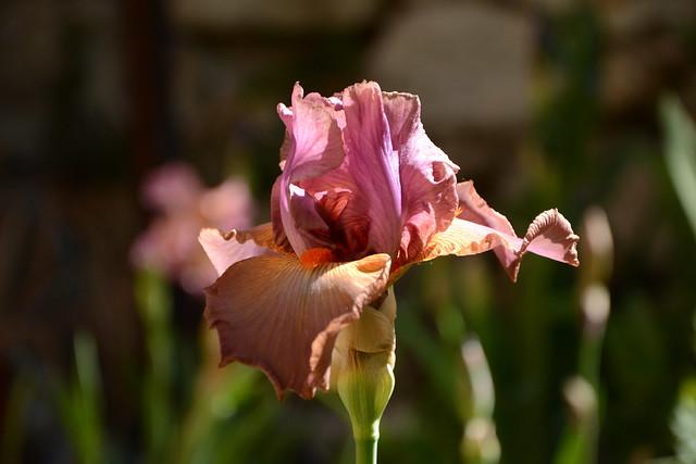 Floraisons 2016 de nos grands iris barbus et Bilan 32412893681_4ae034392f_z