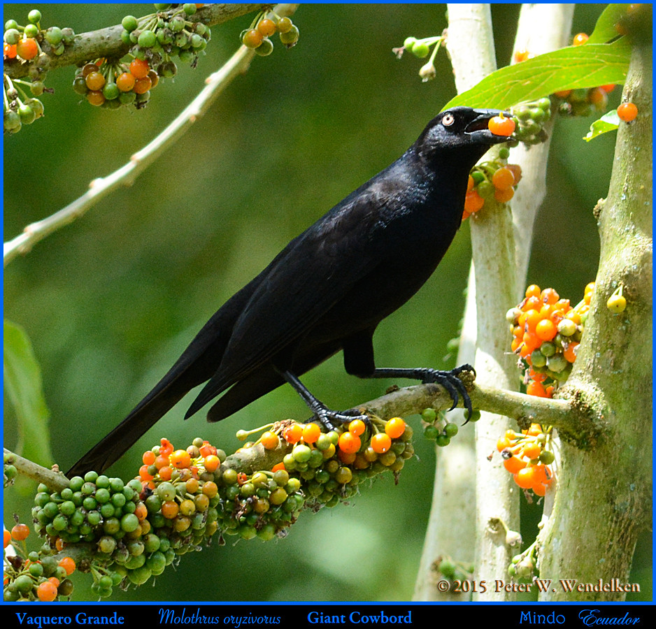 GIANT COWBIRD Molothrus oryzivorus Eating a Pico Pico Fruit in Mindo in Northwestern ECUADOR. Photo by Peter Wendelken.