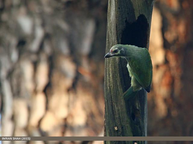 Coppersmith Barbet (Megalaima haemacephala)