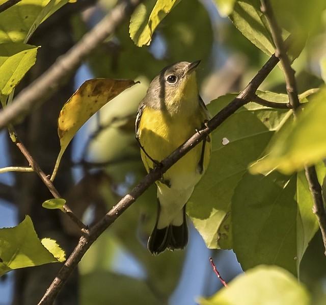 Confusing Magnolia Warbler