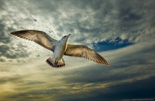 First Year Herring Gull In Mid Air | by Jeffsphotoart