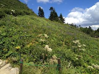 西穂高岳 西穂山荘 お花畑   by ichitakabridge