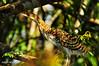 Rufescent Tiger-Heron (Tigrisoma lineatum) by Albert Michaud
