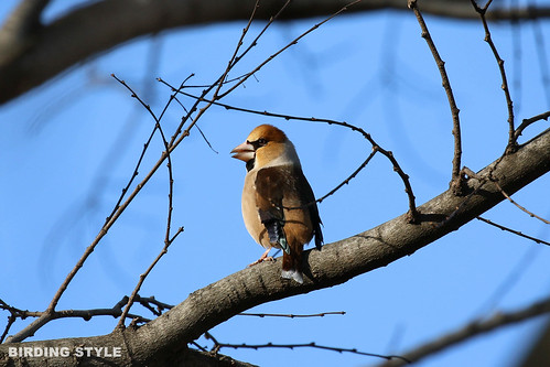 4T4A3394  シメ(鴲 Coccothraustes coccothraustes)