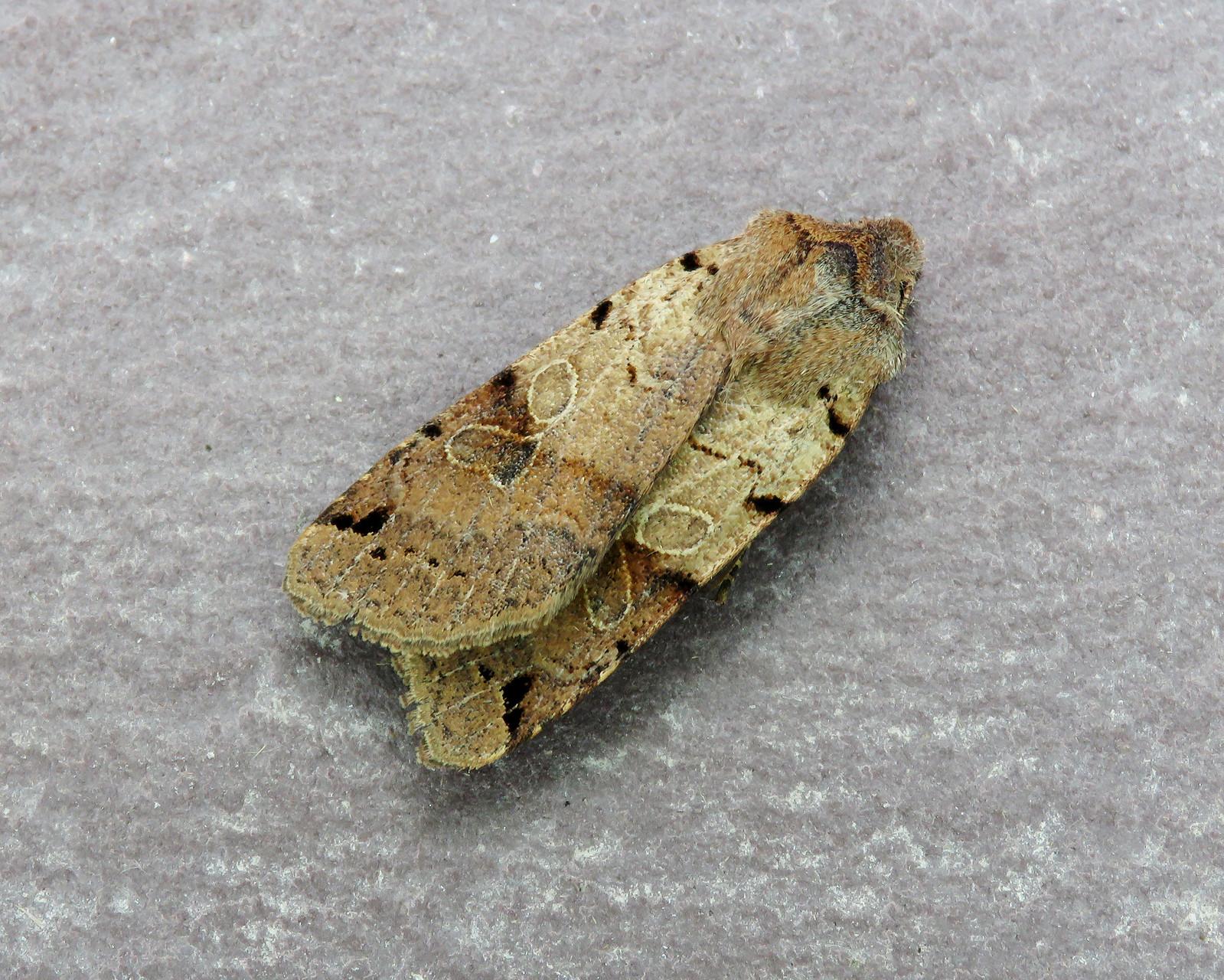 73.187 Brown-spot Pinion - Agrochola litura (f. rufa-pallida)