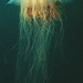Flickr photo 'Lion's mane jellyfish, or hair jelly, Cyanea capillata, the largest know jellyfish in Newfoundland, Canada.' by: Derek Keats.