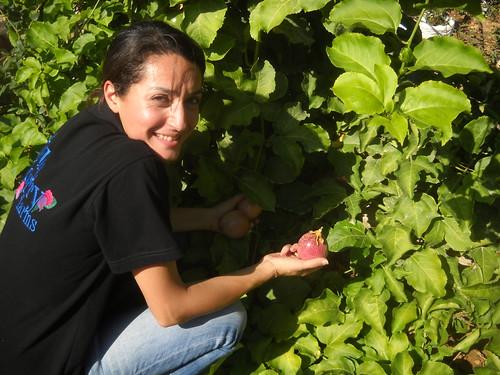 Sarah picking Passion Fruits Deirkoubel c Oct 17, 2015 | by toutberryfarms