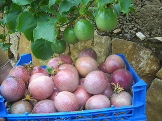Passion fruit large quantity picking aaa Oct 26, 2015 | by toutberryfarms